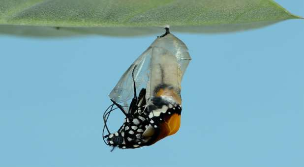 Butterfly emerging from chrysalis